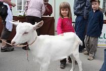 Kozí sýry z Českého lesa přijela propagovat s majiteli i jedna z jejich 12 koz. Na snímku ji hladí Markétka a Tom z Plzně