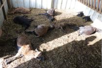 Smečka psů zardousila v Chválenicích a Štěnovicích ovce.