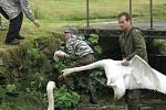 Ochránci museli o víkendu v Honezovicích u Stoda pomáhat labutí rodině z přepadu rybníka na návsi.