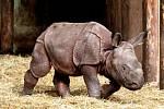 Nosorožčí mládě Růženka v plzeňské zoo
