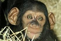 Pětiměsíční samička šimpanze učenlivého Caila už je ve výběhu plzeňské zoo.