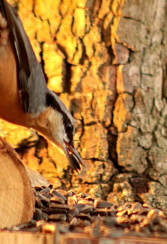 Ptáci v krmítku - brhlík