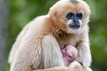 V plzeňské zoo se narodilo mládě gibona bělolícího.