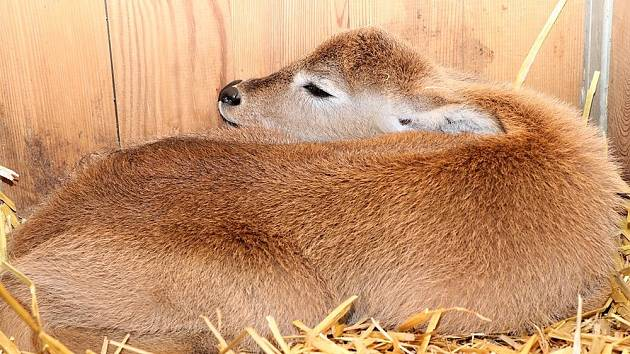 Voduška červená je prvním letošním přírůstkem plzeňské zoo.