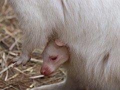 Klokaní mládě Jumpy v plzeňské zoo