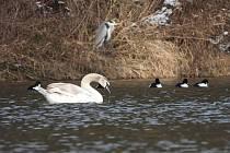 Labutě, volavka popelavá, hoholi severní.