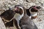 Po ukončení opatření proti ptačí chřipce si mohou návštěvníci užít i oblíbené krmení tučňáků.