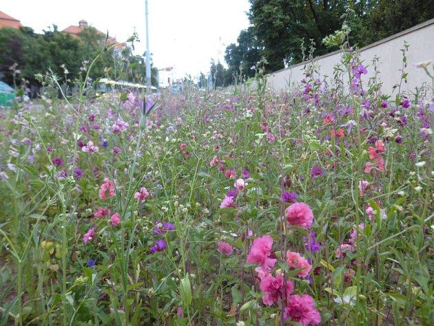 Jeden z dvanácti letničkových,  v tomto případě kvetoucí hlavně fialově a modře, záhonů najdou Plzeňané na Mikulášské třídě mezi zdí tamního hřbitova, silnicí a tramvajovým pásem