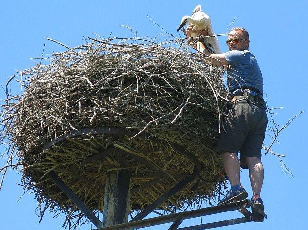 Václav Kural ml. v roce 2001 u čapího hnízda v Nepomuku.