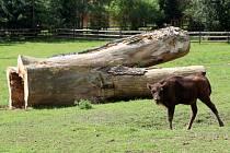 Mládě zubra v plzeňské zoo.