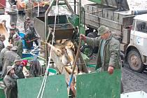 Další káď plná kaprů z Myslívského rybníka se převrací do nádrže na vozidle, které ryby sváží do sádek v Prádle na Plzeňsku.