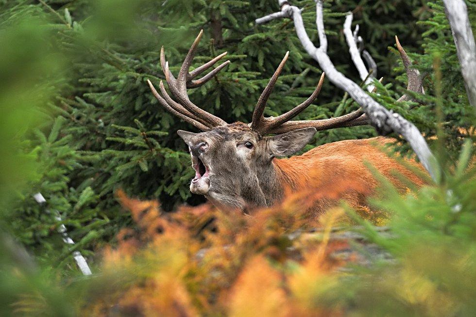 Marek Drha se specializuje na fotografování divokých zvířat, takřka výhradně šumavských.