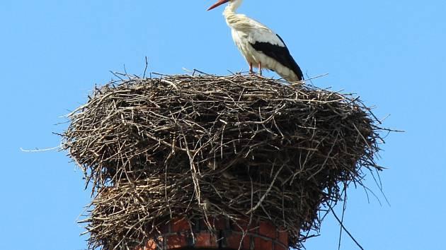V Chocenicích čápi pravidelně hnízdí na komíně bývalého lihovaru. Na snímku je jeden z nich. Když je hnízdo prázdné, bývají ptáci vidět například na lukách u rybníka