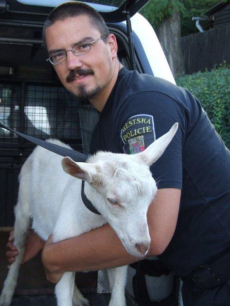 V sobotu strážníky zaměstnal zmatený zakrslý králík kličkující mezi automobily v centru města. O den později museli chytit samce kozy domácí, který se objevil na stadionu