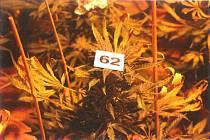 Fotografie z odhalené pěstírny konopí.