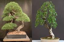 Dva zmizelé stromky. Vlevo 74 cm vysoká borovice lesní, vpravo devadesáticentimetrová bříza bělokorá