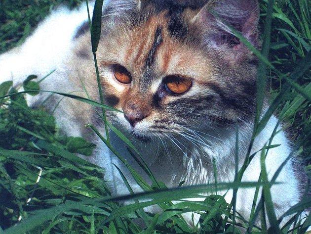 Kočka Pindulka, kterou podle její majitelky přejel bezcitný řidič v Březové ulici v Heřmanově Huti