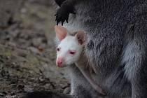 Překvapení v zoo. Klasicky zbarvené samici klokana rudokrkého se na sklonku minulého roku narodilo čistě bílé mládě. Nyní se začíná osmělovat a dívat na svět kolem sebe.