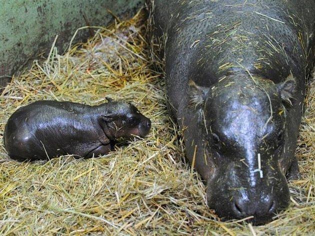 V plzeňské zoo se narodilo mládě hrocha.