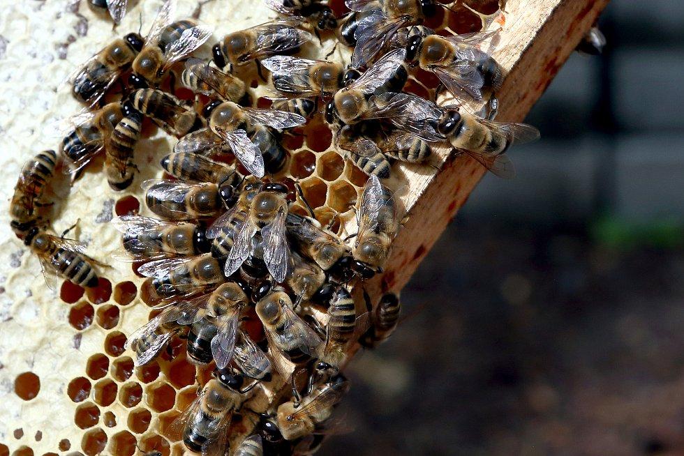 11 - Včela víčkuje zralý med. Ten je obohacen o enzymy a zbaven přebytečné vlhkosti.