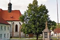 Lípa na Masarykově náměstí ve Starém Plzenci roste už sto let. Plzenečtí ji na počest nové republiky vysadili ještě v roce 1918.