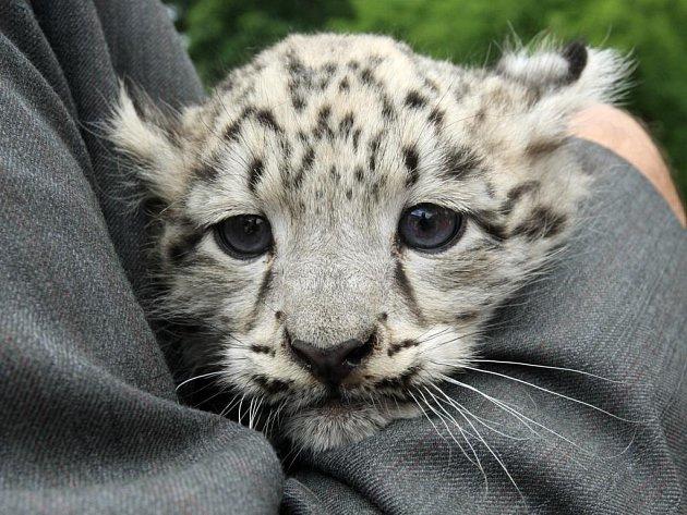 Samička levharta sněžného dostala od primátora jméno Asuka