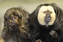 Zoo v Plzni má nový přírůstek, je jím pár chvostanů bělolících