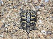 Želva suchozemská nalezená v trávě na fotbalovém hřišti.