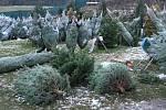 Velký výběr ze stovek vánočních stromků nabízí René Calta v Příšově na severním Plzeňsku.