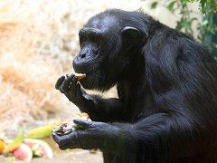 """""""Nelidský,"""" nebo spíše pravý opičí dort dostala šimpanzí tlupa v plzeňské zoo. Opice tak společně oslavily šesté narozeniny šimpanzí slečny Bamiy"""