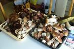 Pro první letošní úlovek vyrazil vášnivý houbař David Osuský do brdských lesů.