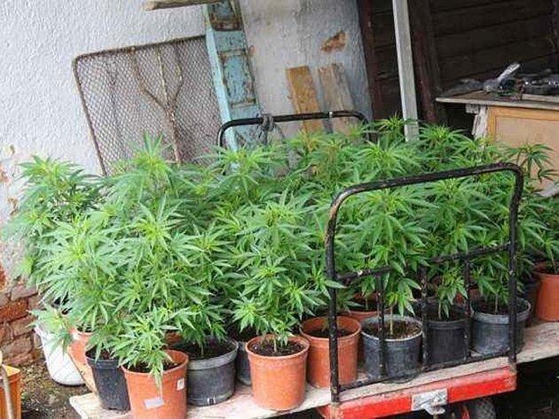 Kriminalisté u muže zajistili celkem 113 rostlin konopí
