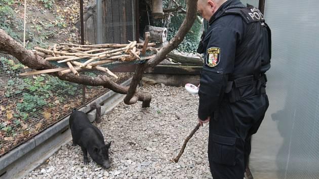 Městští strážníci odchytávali v Těšínské ulici vietnamské prase. To převezli do Záchranné stanice živočichů