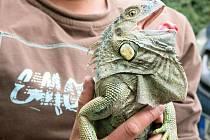 Nalezený leguán se potuloval v lese u Cheznovic na Rokycansku