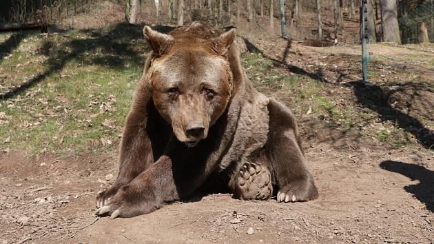 Medvěd Pišta v plzeňské zoo