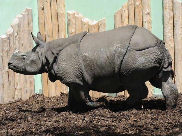 Samička nosorožce indického Manjula v plzeňské zoo