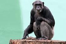 Šimpanz učenlivý v plzeňské zoo