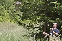 Karel Makoň z plzeňské záchranné stanice vypouští na svobodu mládě káně lesní