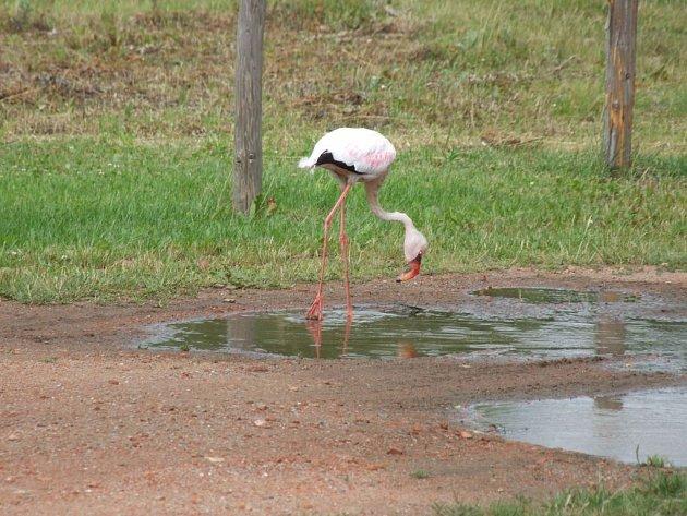 Minimálně dva dny strávil na svobodě vzácný pták pocházející pravděpodobně z německé zoo. Nyní dočasně žije v plzeňské záchranné stanici
