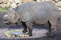 Ovocná část narozeninového dortu v nosorožci Baabuuovi zmizela nejdřív. Osmiletý samec, který v plzeňské zoo žije od loňského září, má šanci stát se otcem