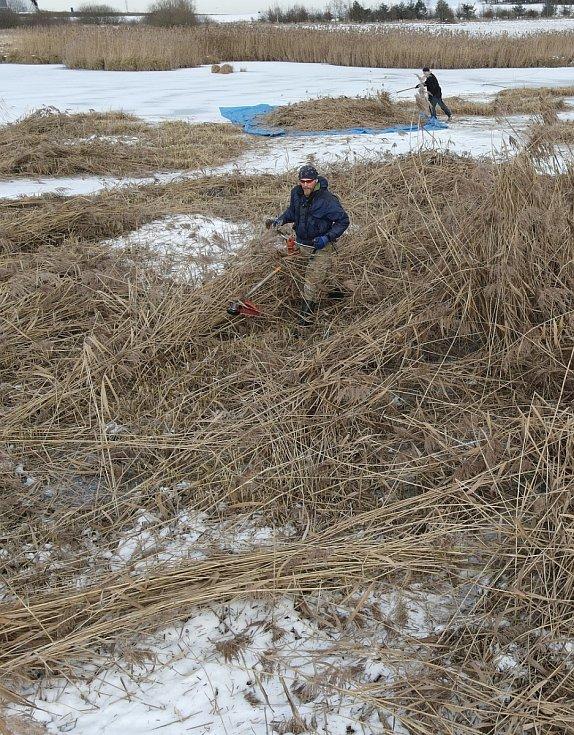 Ochránci přírody sekali rákos na Novém rybníce kvůli hnízdění ptáků