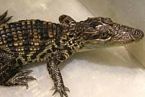 Dvouměsíční mláďata krokodýla siamského nyní měří přes třicet centimetrů. V dospělosti budou mít desetkrát víc.