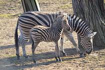 Zoo v Plzni se může pochlubit prvním letošním mládětem zebry