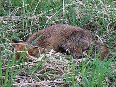 Liška se psinkou, která uhynula v roce 2014 v Lobzích