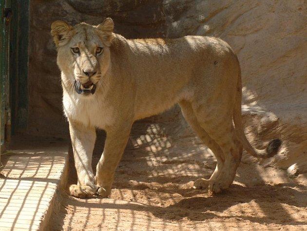 Lvice Lekysha v plzeňské zoo