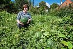 Paní Ivaně Hájkové z Pňovan se letos podařilo vypěstovat z jediné rostliny  třináct vodních melounů.
