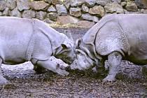 Nosorožčí samec Baabuu se minulý týden úspěšně spářil s Manjulou