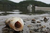Uhynulé ryby na přehradě Hracholusky