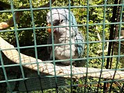 Papoušek nalezený na zahradě v Zelenohorské ulici.