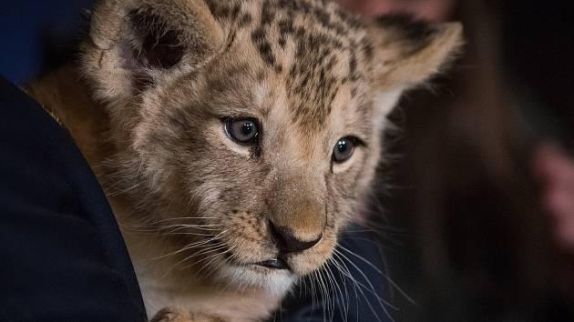 Mládě lva berberského dostalo v plzeňské zoologické zahradě jméno Baqir